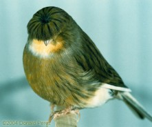 Mullet bird
